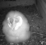 Fluffy Barn Owl Chick